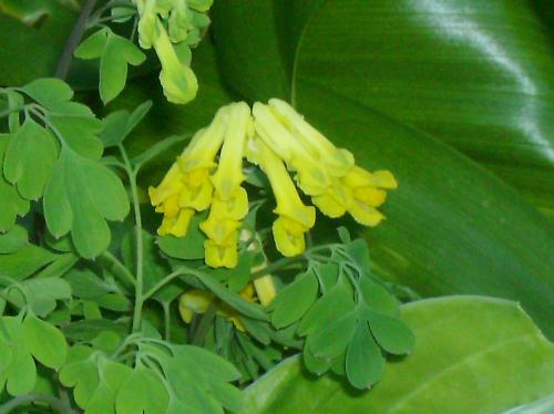 Photo of Pseudofumaria lutea (Yellow Corydalis)