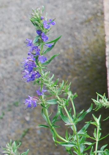 Photo of Satureja montana (Winter Savory)
