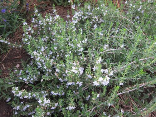 Photo of Satureja montana (Winter Savory)