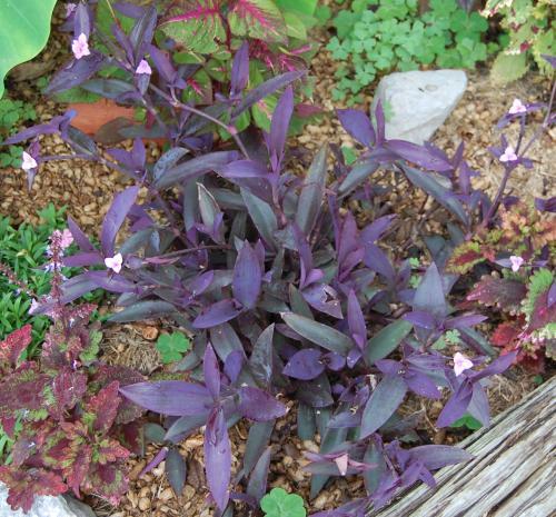 Tradescantia pallida wandering jew purple heart plant - Purple wandering jew plant ...
