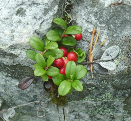Photo of Vaccinium vitis-idaea (Lingonberry, Mountain Cranberry)