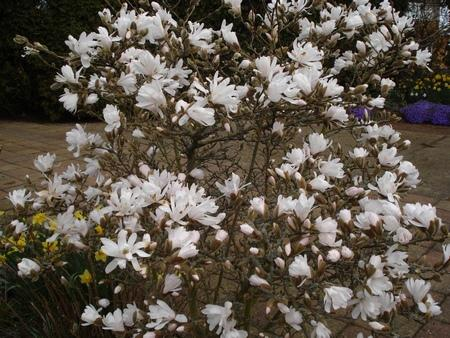 Photo of Magnolia stellata (Star Magnolia)