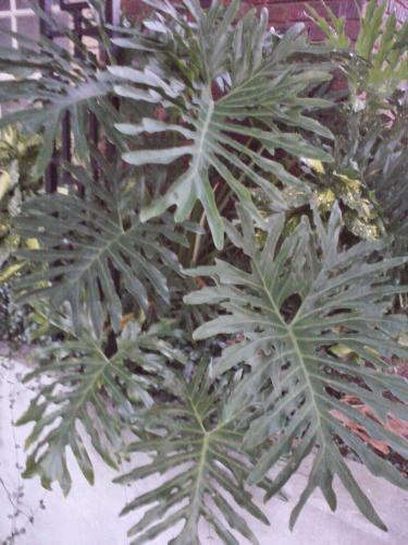 Photo of philodendron bipinnatifidum cut leaf philodendron selloum