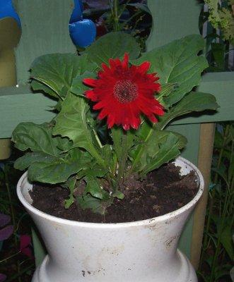 Photo of Gerbera jamesonii (Gerber Daisy, Barberton Daisy)