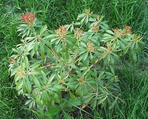 Photo of Pieris japonica (Japanese Pieris, Japanese Andromeda)