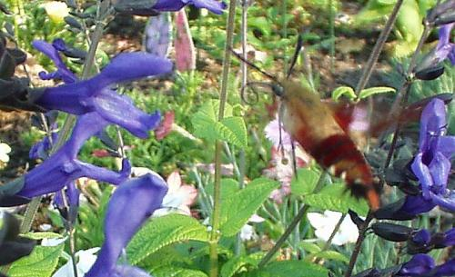 Photo of Salvia guaranitica (Black and Blue Salvia)