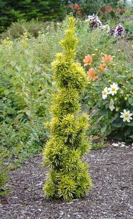 Photo of Taxus baccata 'Fastigiata Aurea' (Irish Yew, Golden Irish Yew)