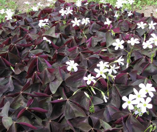 Oxalis adenophylla 4 tall spring bloom z3 9 443x712 72kb