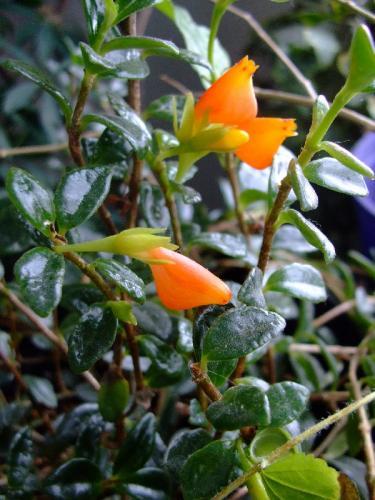 nematanthus gregarius goldfish plant. Photo of Nematanthus gregarius