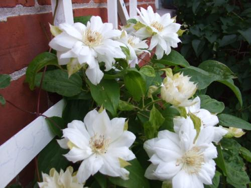 clematis 39 duchess of edinburgh 39 plant page. Black Bedroom Furniture Sets. Home Design Ideas