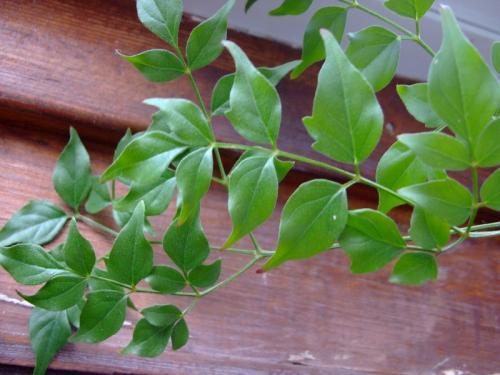 Photo of Radermachera sinica (China Doll, Emerald Tree, Serpent Tree)
