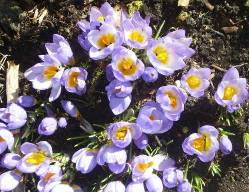 Photo of Crocus sieberi subsp. sublimis 'Tricolor'