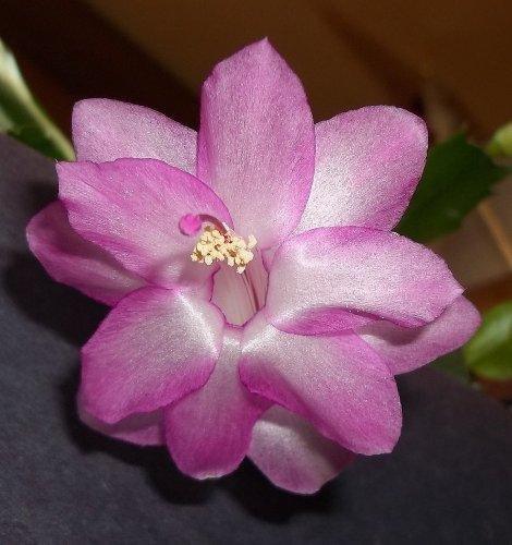 Photo of Schlumbergera bridgesii (Christmas Cactus)