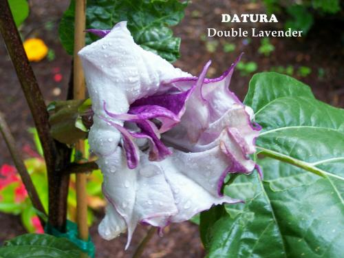 Photo of Datura metel (Black Currant Swirl,  Devil's Trumpet)