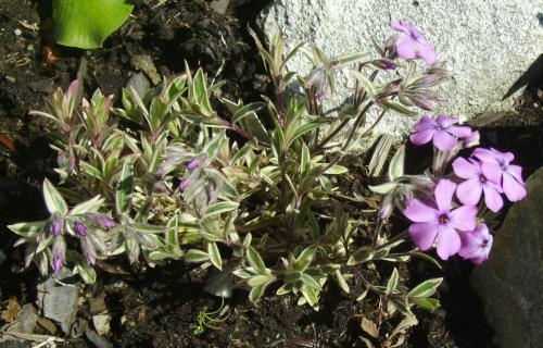 Photo of Phlox amoena 'Variegata'