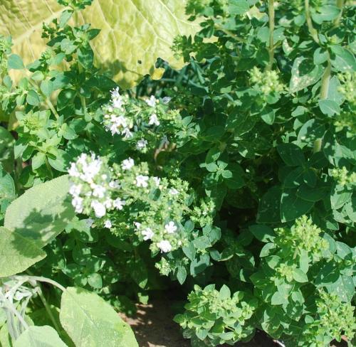 Photo of Origanum vulgare ssp. hirtum (Greek Oregano)