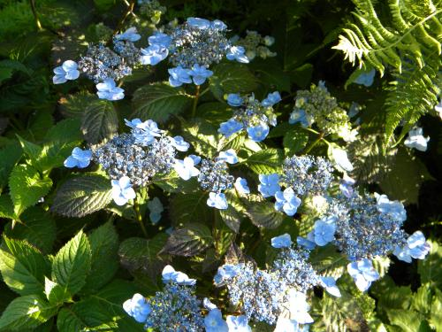 Photo of Hydrangea serrata 'Blue Billow'