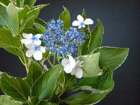 Photo of Hydrangea macrophylla 'Variegata' (Variegated Bigleaf Hydrangea)