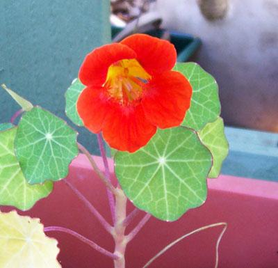 Photo of Tropaeolum majus 'Empress of India' (Nasturtium, Indian Cress)