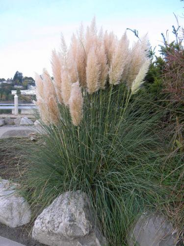 cortaderia selloana 39 pumila 39 dwarf pampas grass plant page. Black Bedroom Furniture Sets. Home Design Ideas