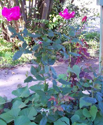 Photo of Rosa 'Radrazz' (Knock Out (tm) Shrub Rose, Cherry Red Knock Out (tm))