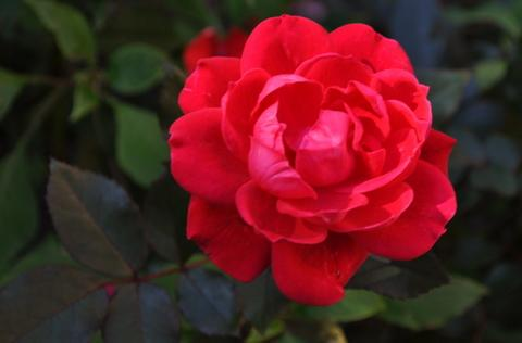 Photo of Rosa 'Radtko' (Red Double KnockOut Rose)