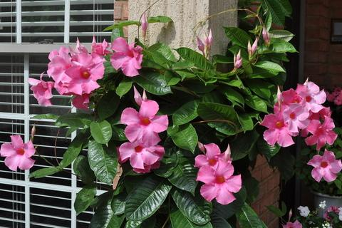 Photo of Mandevilla x amoena 'Alice du Pont' (Mandevilla)