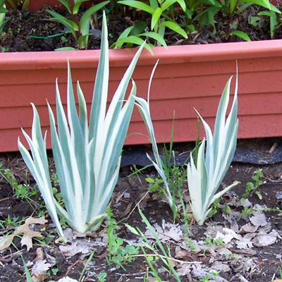 Photo of Iris pallida 'Variegata' (Variegated Sweet Iris)