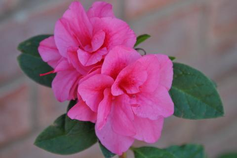Photo of Rhododendron  'Autumn Empress' (Encore Azalea)