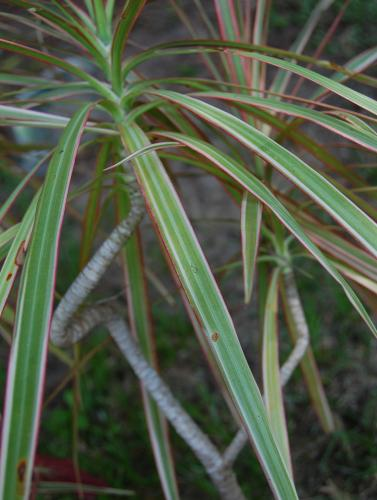 Photo of Dracaena marginata 'Tricolor' (Dragon Tree, Red-margined Dracaena)