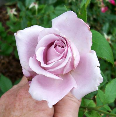 Photo of Rosa 'Blue Girl'