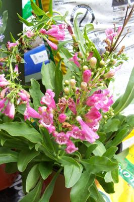 Photo of Penstemon barbatus 'Rondo  Mix' (Beard Tongue)