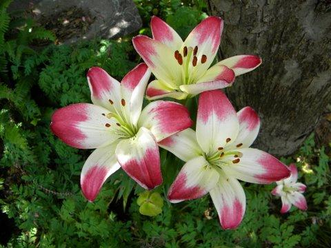 Photo of Lilium 'Lollypop' (Asiatic Lily)