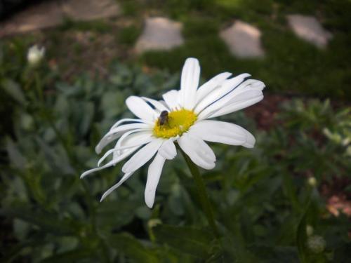 Photo of Leucanthemum superbum 'White Knight'