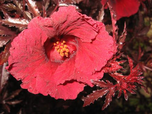 Photo of Hibiscus acetosella 'Red Shield' (Red Leaf Hibicus, False Roselle)