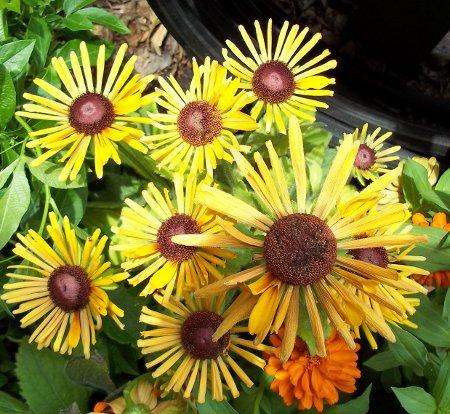 Photo of Rudbeckia hirta 'Chim Chiminee' (Black-Eyed Susan)