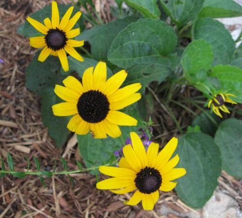 Photo of Rudbeckia fulgida  'Goldsturm' (Black-Eyed Susan)