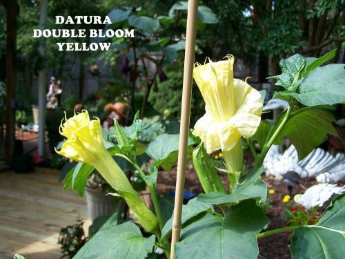 Photo of Datura metel var chlorantha