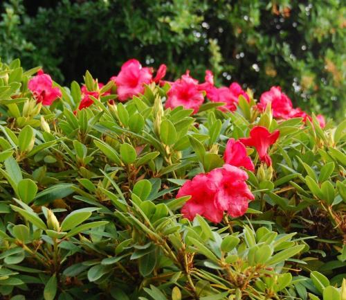 Photo of Rhododendron 'Elizabeth'