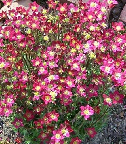 Photo of Saxifraga x arendsii 'Touran Scarlet' (Arend's Saxifrage,  Mossy Saxifrage, Rock Foil)