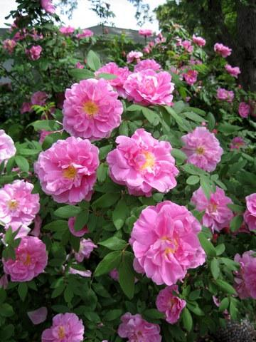 Photo of Rosa rugosa 'Therese Bugnet'