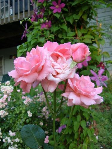 Photo of Rosa 'Queen Elizabeth'