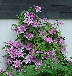 Photo of Clematis 'Dr. Ruppel'