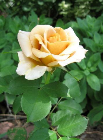 Photo of Rosa 'Honey Dijon'
