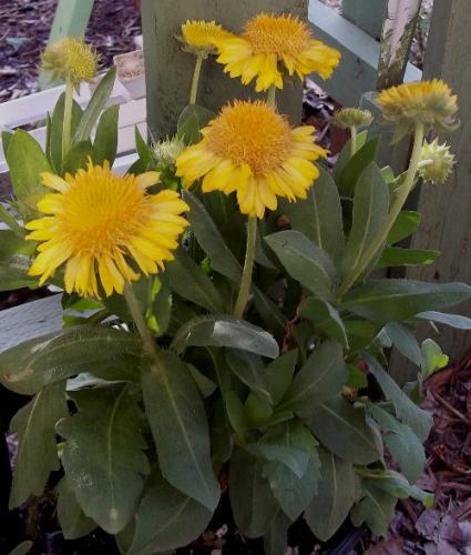 Gaillardia x grandiflora 'Mesa Yellow' (Blanket Flower ...