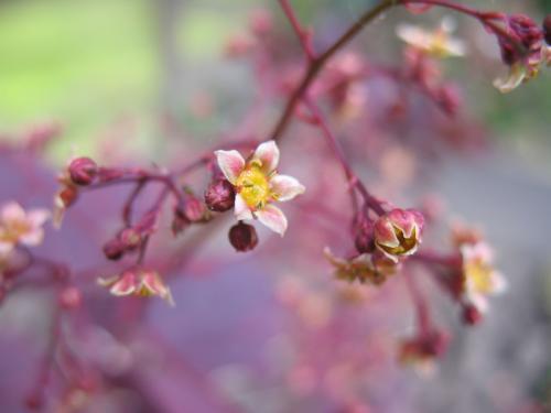 Photo of Cotinus coggygria 'Royal Purple' (Smoke Tree)