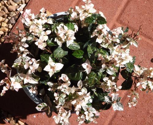 Photo of Trachelospermum asiaticum 'Snow N Summer' (Asiatic Jasmine)