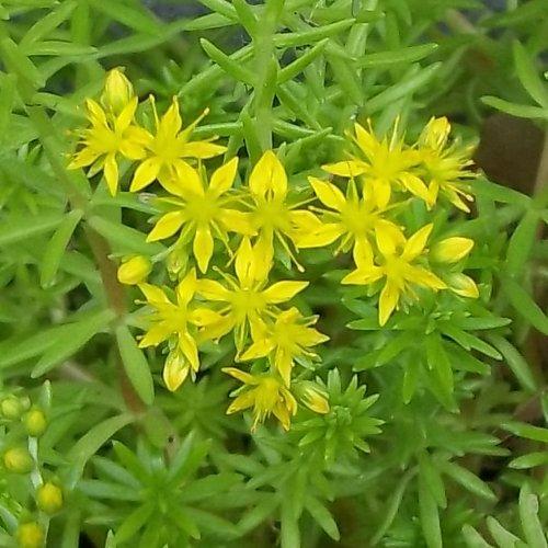Sedum rupestre 'Lemon Coral' (Stonecrop) - Plant Page