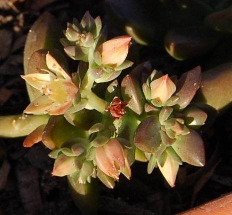 Photo of x Sedeveria 'Sorrento' (Burro's Tail)