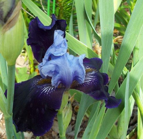 Photo of Iris 'Best Bet' (Bearded Iris)